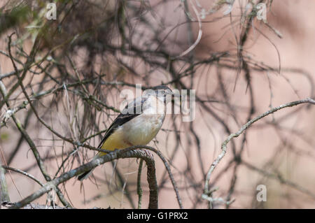 A grey wagtail (Motacilla cinerea) fledgeling waiting on a pine tree - Stock Photo