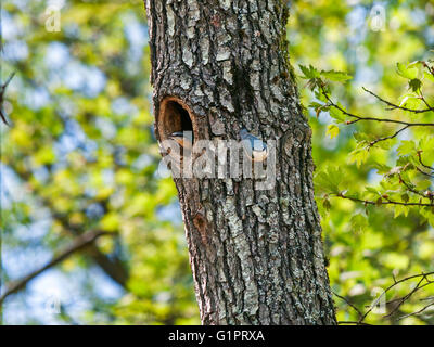 Pair of nuthatches on a tree with a cavity - Stock Photo