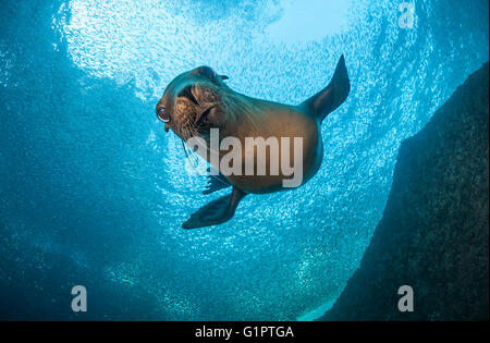 Underwater views of Californian sea lions, zalophus californianus, and bait fish in the Sea Of Cortes. - Stock Photo