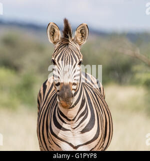 A face-on portrait of a Burchell's Zebra standing in Southern African savannah - Stock Photo