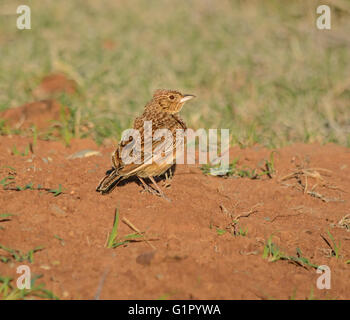 A Rufous-naped lark perched on a pile of red sand, South africa - Stock Photo