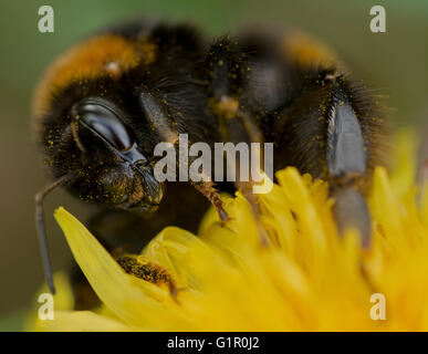 A bee covered with pollen on a wild flower. - Stock Photo