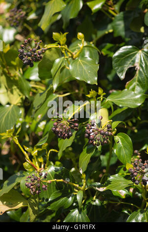 dark brown black Ivy berries ready to be shed and eaten by birds - Stock Photo