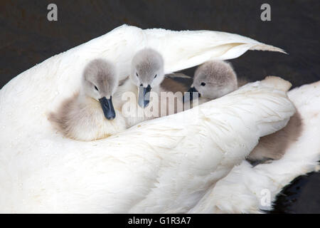 Mute Swan Cygnus olar  with newly hatched Cygnets riding on female's back - Stock Photo