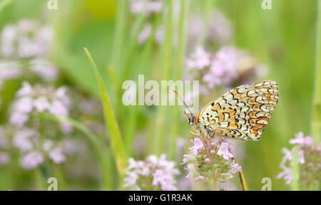 Monarch butterfly resting on a purple flower - Stock Photo