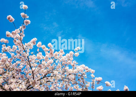 View of blue sky and cherry blossoms in Portland, Oregon - Stock Photo