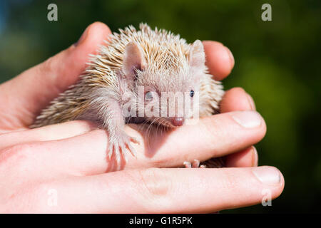 Tenrec Lesser Hedghog being held gently by Zoo Keeper - Stock Photo