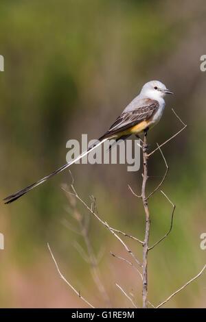 Scissor-tailed Flycatcher - Tyrannus forficatus - Adult male - Stock Photo