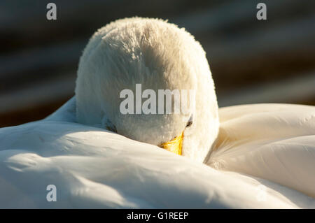 Head of resting Bewick Swan (Cygnus columbianus bewickii) - Stock Photo
