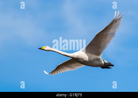 Whooper swan in flight - Stock Photo