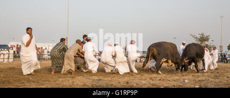 bulls fighting in Fujeirah, UAE, local men in traditional clothing are trying to pull the bulls apart - Stock Photo