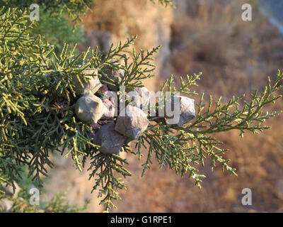 Close-up of Small gray fir cones in Alora Countryside - Stock Photo