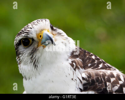 Head of a captive Gyr Falcon (Falco rusticolus) or gerfalcon - Stock Photo