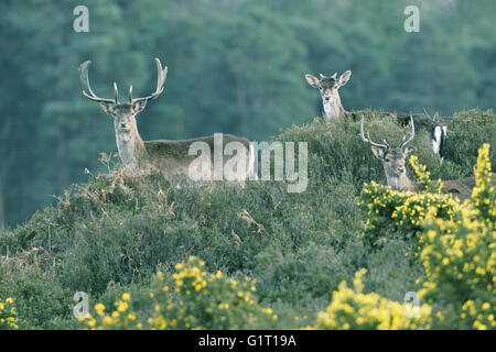 Fallow deer Dama dama bucks on heathland New Forest National Park Hampshire England - Stock Photo