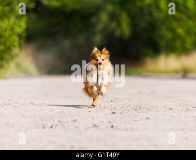 running shetland sheepdog with ball in mouth - Stock Photo