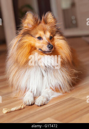 young shelty dog with a dog chew bone - Stock Photo