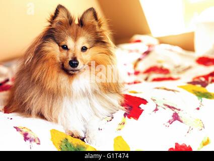 young shetland sheepdog lies bedcover - Stock Photo