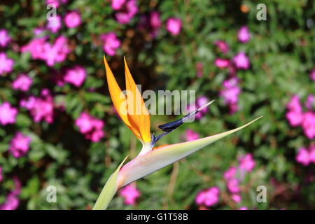 Bird of paradise flower set in the early sun - Stock Photo