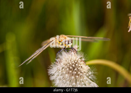 closeup picture of dragonfly siting on the plant