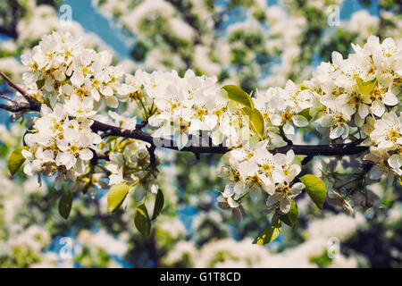 Apple tree blossoming branch - Stock Photo
