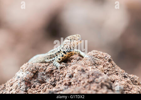 Santiago lava lizard, Microlophus (Tropidurus) jacobi, Isla Santiago (San Salvador, James), Galapagos Islands, Ecuador - Stock Photo
