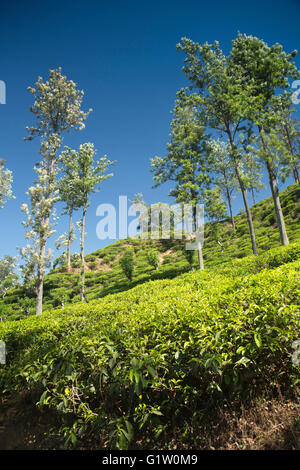 Sri Lanka, Ella, 98 Acres tea estate from path to Little Adam's Peak - Stock Photo