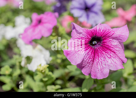 Petunia flowers in a pot on the street - Stock Photo