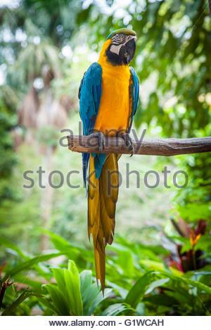 Blue-and-Yellow Macaw (Ara ararauna) at the animal rehabilitation center in Quistacocha, Iquitos, Loreto, Peru, - Stock Photo