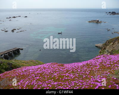 A Mass of purple Hottentot figs flowers on the edge of cliffs at the Lizard Peninsula on a sunny late spring day - Stock Photo