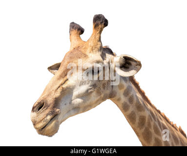 giraffe head isolated on white close up shot - Stock Photo