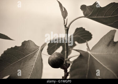 Figs on the branch of a fig tree - Stock Photo