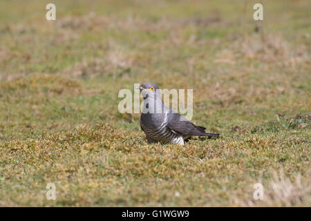 Male Common cuckoo (Cuculus canorus) foraging in a field. - Stock Photo