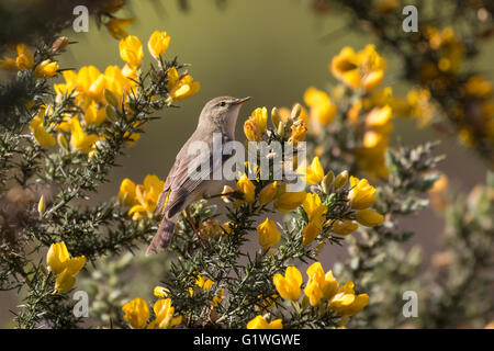 Willow warbler (Phylloscopus trochilus) foraging among gorse. - Stock Photo