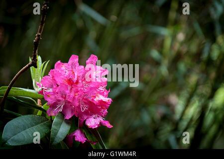 Rhododendron. Cynthia. - Stock Photo