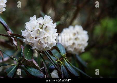 Rhododendron falconeri. - Stock Photo