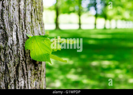 Close up of a leaf on the trunk of a tree in an avenue of lime trees at Marbury country park, Comberbach, Northwich, - Stock Photo
