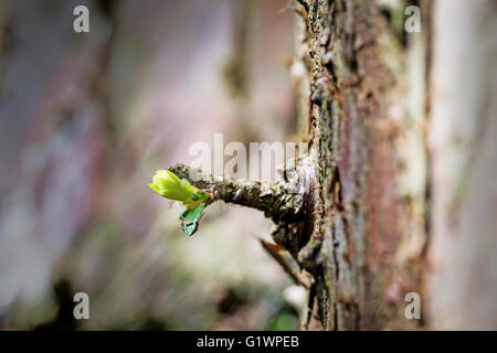 New shoot springs from the trunk of a fir tree in Marbury Park, Comberbach, Northwich, Cheshire, England - Stock Photo