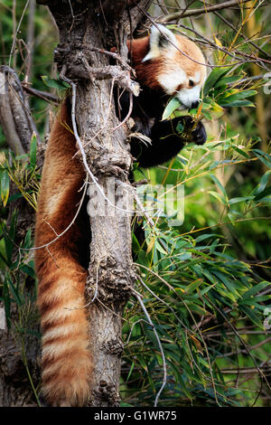 A Red Panda in a tree. - Stock Photo