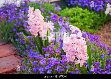 Close detail of beautiful pink hyacinth (Hyacinthus orientalis) bloomed on a flowerbed in spring - Stock Photo