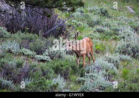Mule deer Odocoileus hemionus buck in velvet Rocky Mountain National Park Colorado USA June 2015 - Stock Photo