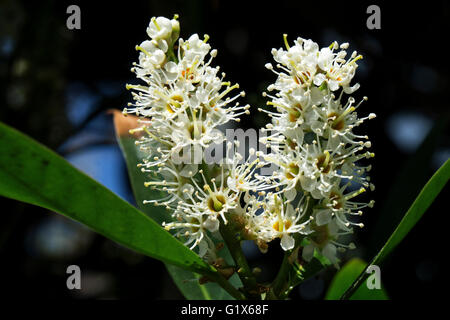 Flowers of cherry laurel (Prunus laurocerasus), also common laurel, Baden-Württemberg, Germany - Stock Photo