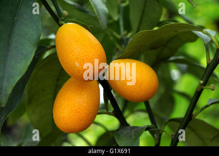 Kumquat (Fortunella), fruit on the tree - Stock Photo