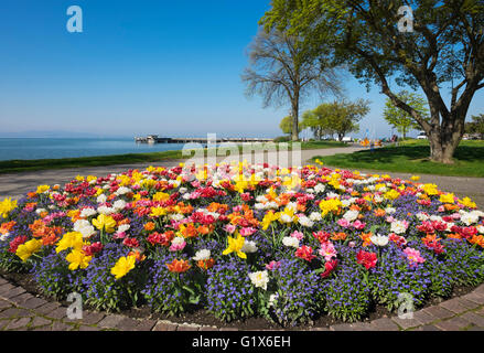 Tulips (Tulips) and forget-me-not (Myosotis sylvatica), spring flowers in flower bed at Lake Constance promenade, - Stock Photo
