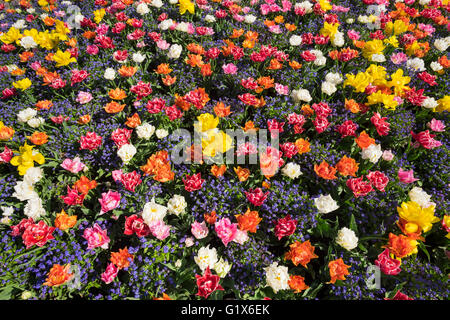 Tulips (Tulips) and forget-me-not (Myosotis sylvatica), spring flowers in flower bed, Langenargen, Lake Constance - Stock Photo