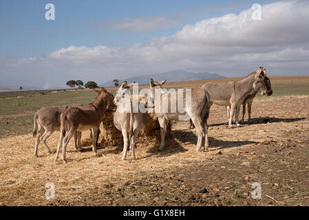 CALEDON WESTERN CAPE SOUTH AFRICA  Donkeys feeding in a field close to Caledon in the Western Cape region of South - Stock Photo