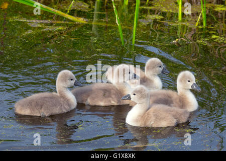 Mute Swan Cygnus olar newly hatched Cygnets - Stock Photo
