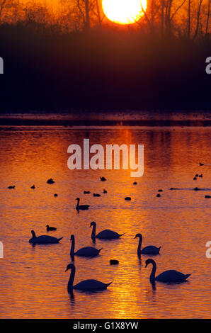 Mute Swans Cygnus olar flock in winter sunset - Stock Photo