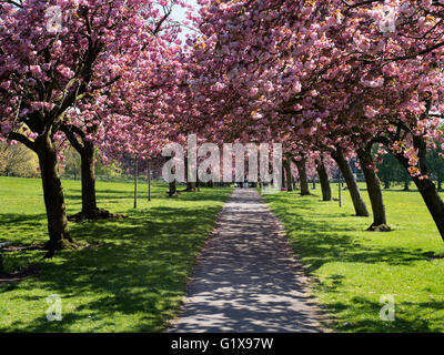 Cherry Blossom on the Stray in Spring at Harrogate North Yorkshire England - Stock Photo