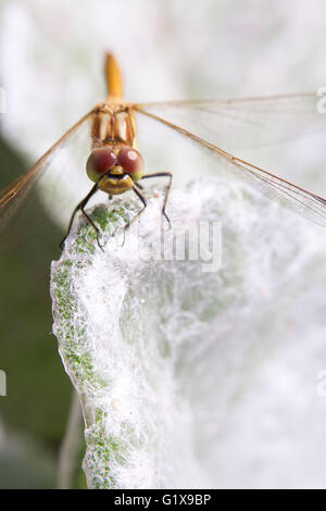 Common darter (Sympetrum striolatum) dragonfly sitting on the edge of a silver salvia (Salvia argentea) leaf, Stockholm, - Stock Photo