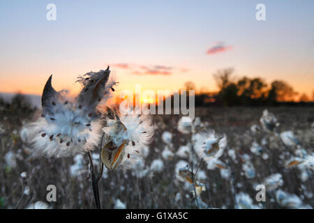 Fly seed flowers on a meadow at sunset - Stock Photo